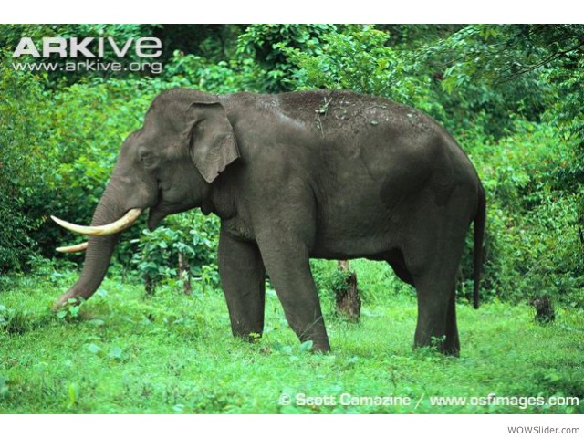 Asian Elephant - Elephas maximus              Status: Endangered