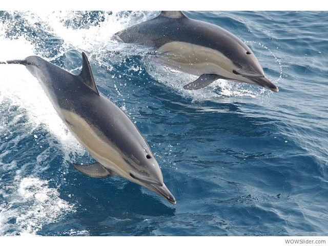 Atlantic and Pacific Common Dolphin - Delphinus delphis           Status: Least Concern