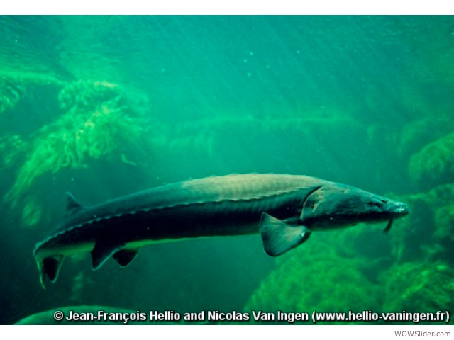 Atlantic Sturgeon - Acipenser sturio         Status: Critically Endangered