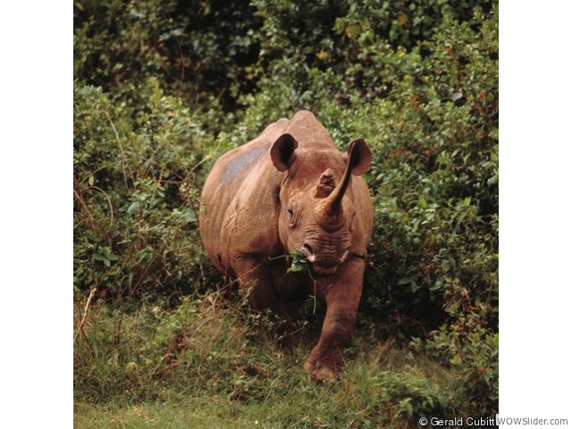 Black Rhinoceros - Diceros bicornis         Status: Critically Endangered