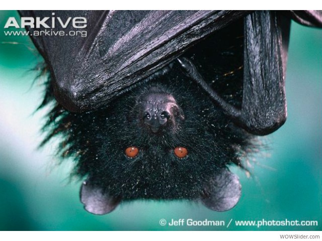 Comoro Black Flying Fox - Pteropus livingstonii             Status: Endangered