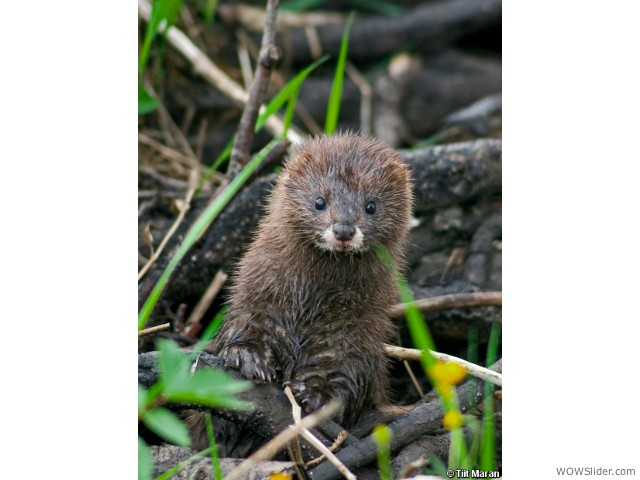 European Mink - Mustela lutreola             Status: Critically Endangered