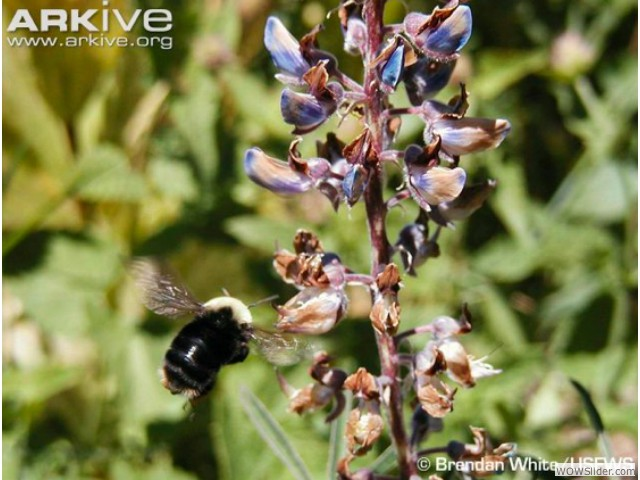 Franklin's Bumble Bee - Bombus franklini          Status: Criticallly Endangered