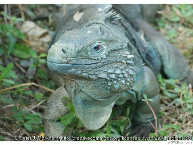 Grand Cayman Blue Iguana - Cyclura lewisi                  Status: Endangered