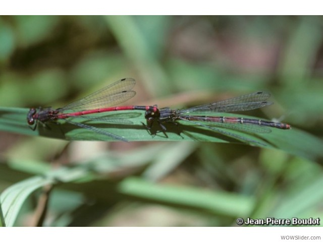 Greek Red Damsel - Pyrrhosoma elisabethae            Status: Critically Endangered