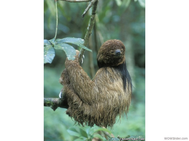 Maned Sloth - Bradypus torquatus                   Status: Vulnerable