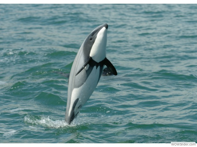 Maui Dolphin - Cephalorhynchus hectori maui                    Status: Critically Endangered