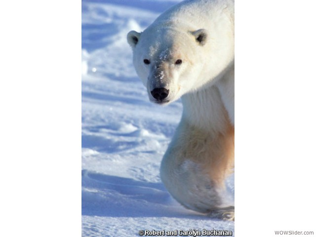 Polar Bear - Ursus maritimus               Status: Vulnerable - Critically Endangered