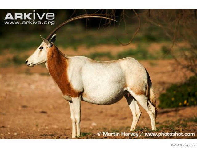 Scimitar-horned Oryx - Oryx dammah             Status: Extinct in the wild