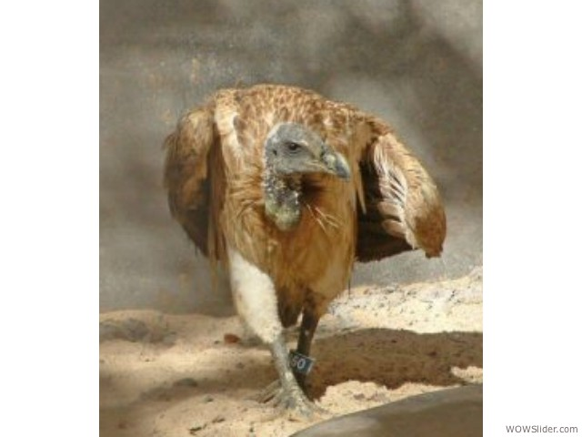 Slender-billed Vulture - Gyps tenuirostris           Status: Critically Endangered