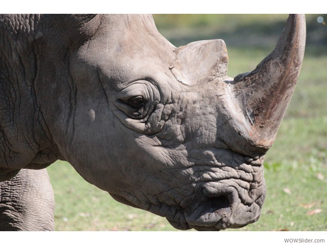 Southern and Northern White Rhino - Ceratotherium simum.ssp.simum  Status: Near Threatened