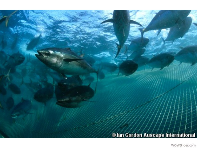 Southern Bluefin Tuna - Thunnus maccoyii            Status: Critically Endangered