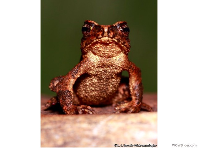 Sri Lankan toad species - Adenomus kandianus         Status: Critically endangered - Extinct