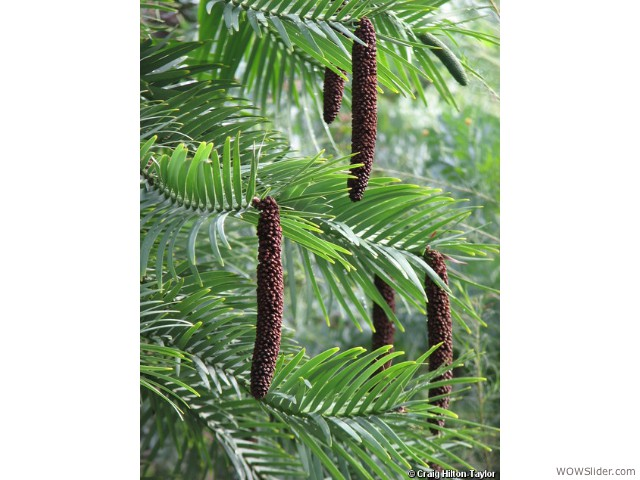 Wollemi Pine - Wollemia nobilis              Status: Critically Endangered