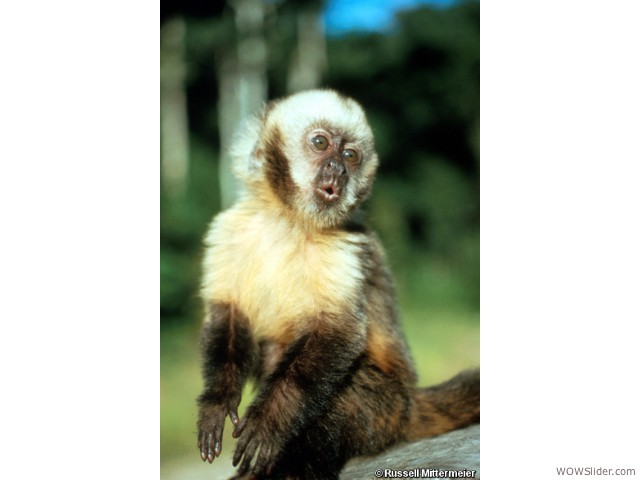 Yellow-breasted Capuchin - Cebus xanthosternos           Status: Critically Endangered